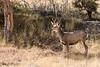 Mule Deer with a focused interest
