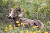 Big Horn Ram- Montana-8482