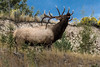 Montana - Rocky Mountain Elk - Bull Elk Bugleing (1 of 1)-2-3