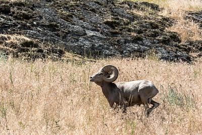 BIG HORN RAM RUNNING    BISON WILDLIFE REFUGE  MONTANA