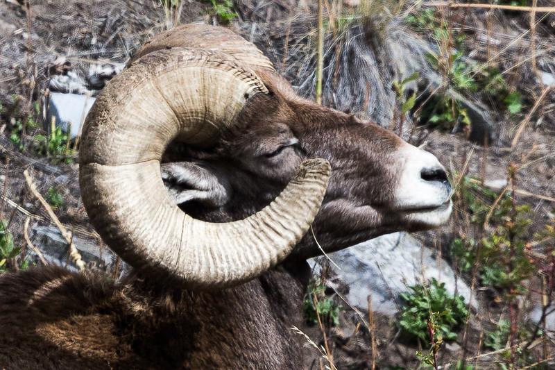 Montana - Big Horn Ram - Loving the sun-1186-1