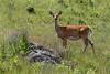 White-tailed Deer - Montana-8023