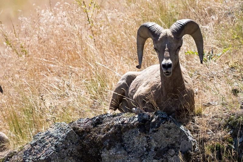 Big Horn Ram - Montana-0079