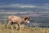 Big Horn Ram - Montana-4388