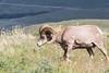 Big Horn Ram - Montana-4337