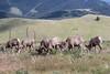 Big Horn Ram - Montana-4317
