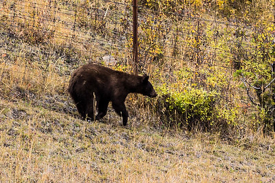 Montana - American Black Bear cub (1 of 1)-2-15