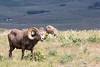 Big Horn Ram - Montana-4374