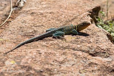 Eastern Collared Lizard  Male ( Crotaphytus collaris collaris )-2-2