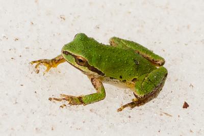 Pacific Tree Frog ( Pseudacris regilla )-9202