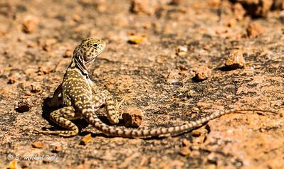 Eastern Collared Lizard  Female ( Crotaphytus collaris collaris )-6-4