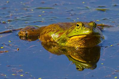 American Bullfrog ( Rana catesbeiana )-9261
