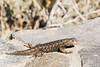 Mono Lake - Sagebrush Lizard-