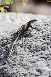 Lizard - Palm Canyon Trail - Anza Borrego Desert State Park