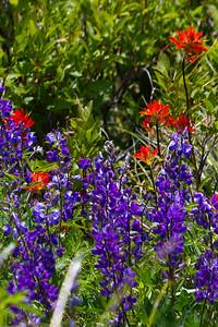 Indian Paint Brush ( Castilleja spp ) Blue-pod Lupine ( Lupinus polyphyllus bernardinus )-0134