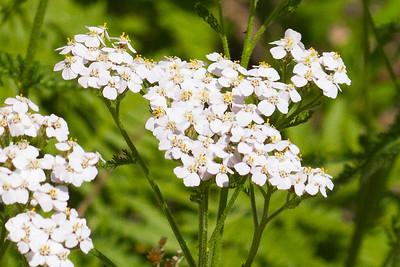 Yarrow ( Achillea millefolium )-0331