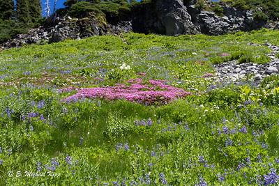 Wild Flower covered hillside   Goat Rocks Wilderness (1 of 1)-9