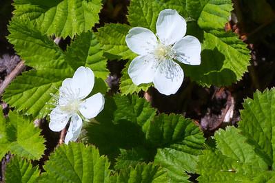 Draft Bramble ( Rubus lasiococcus )-0260