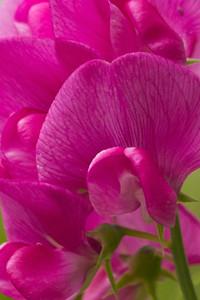 Perennial Sweet Pea (  Lathyrus latifolius )-0396