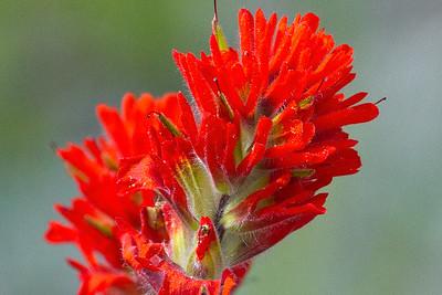 Indian Paintbrush ( Castilleja spp )-9508
