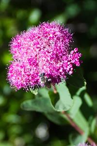Rosey Spirea ( Spiraea densiflora )-1117