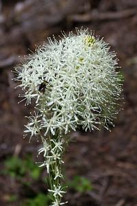 Bear Grass ( Xerophyllum tenax )  with  Bee  Goat Rocks Wilderness-1002