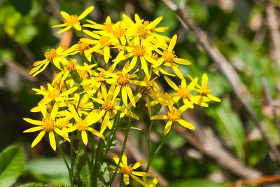 Arnica ( Arnica spp )-0361