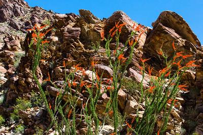 Ocotillo Cactus - Palm Canyon Trail - Anza Borrego Desert State Park