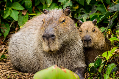 Capybara of the Pantanal, Brazil-20.jpg