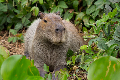 Capybara of the Pantanal, Brazil-2.jpg