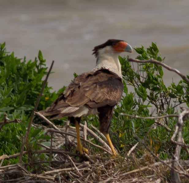 Crested Caracara Aransas WLR  Texas 2012 3 19 (1 of 1).CR2