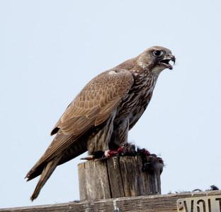 Gyrfalcon  San Jacinto Wildlife area 2012 01 22 (10 of 20)-2.CR2