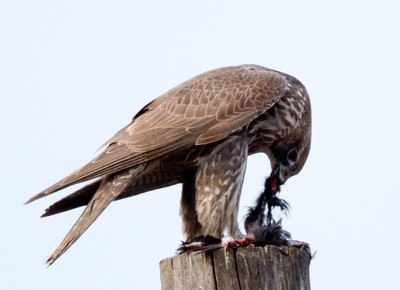 Gyrfalcon  San Jacinto Wildlife area 2012 01 22 (4 of 20)-2.CR2