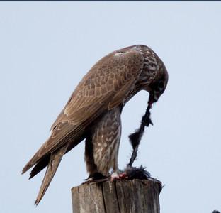 Gyrfalcon  San Jacinto Wildlife area 2012 01 22 (6 of 20)-2.CR2