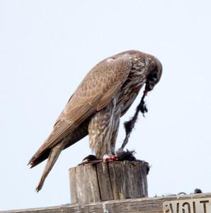 Gyrfalcon  San Jacinto Wildlife area 2012 01 22 (9 of 20)-2.CR2