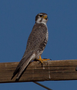 Prairie Falcon White Mountain Ranch 2014 01 16-1.CR2