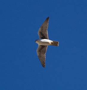Prairie Falcon Upper Gorge   Mammoth Lakes 2014 03 22-1.CR2