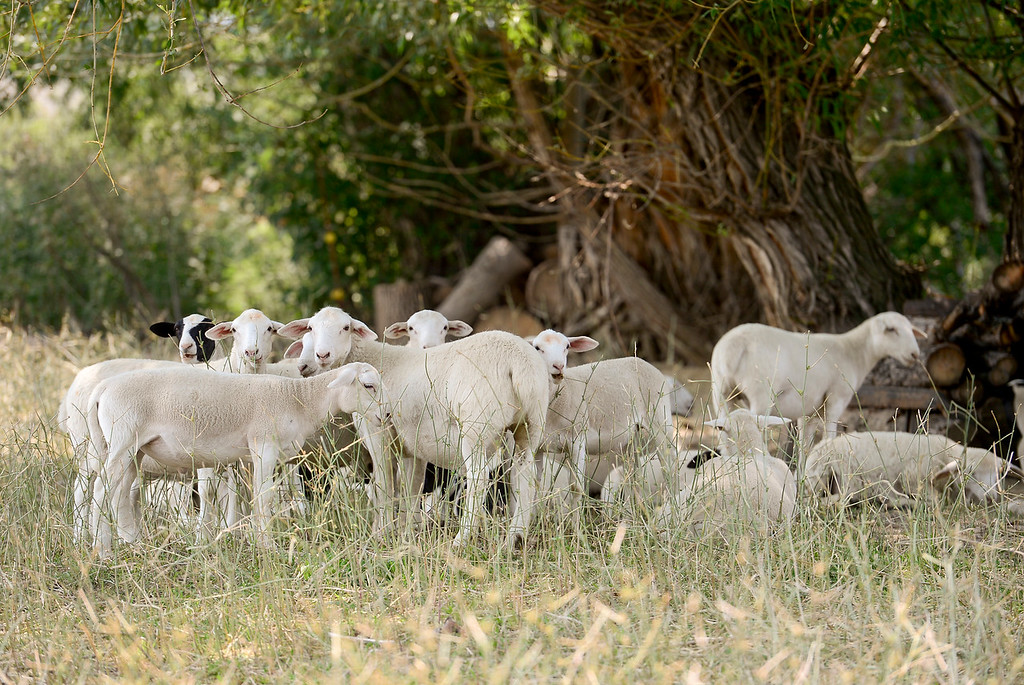 . LONGMONT, CO - AUGUST 7: Lambs sit in the shade at the McCauley Family Farm near Longmont on Aug. 7, 2018. Carbon farming is a practice in which farmers and ranchers aim to be carbon neutral. (Photo by Matthew Jonas/Staff Photographer)