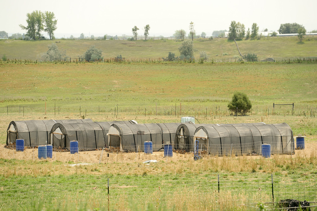 . LONGMONT, CO - AUGUST 7: 2000 chickens roam in a temporary paddock at the McCauley Family Farm near Longmont on Aug. 7, 2018. Carbon farming is a practice in which farmers and ranchers aim to be carbon neutral. (Photo by Matthew Jonas/Staff Photographer)