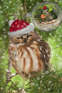 Saw whet Christmas Dreams
