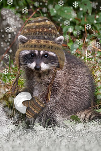 Raccoon Toque