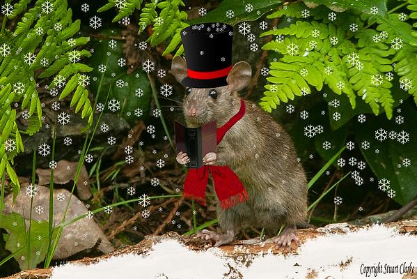 Mouse Caroller