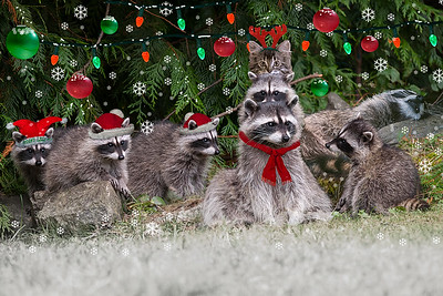 Raccoon Family Christmas