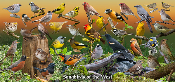 Songbirds of the West 002