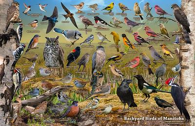 Backyard Birds of Manitoba ID Poster