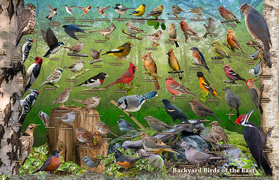 Backyard Birds of the East ID Poster