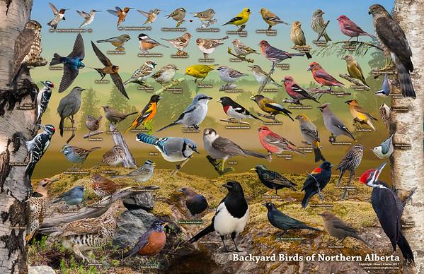 Backyard Birds of Northern Alberta ID Poster