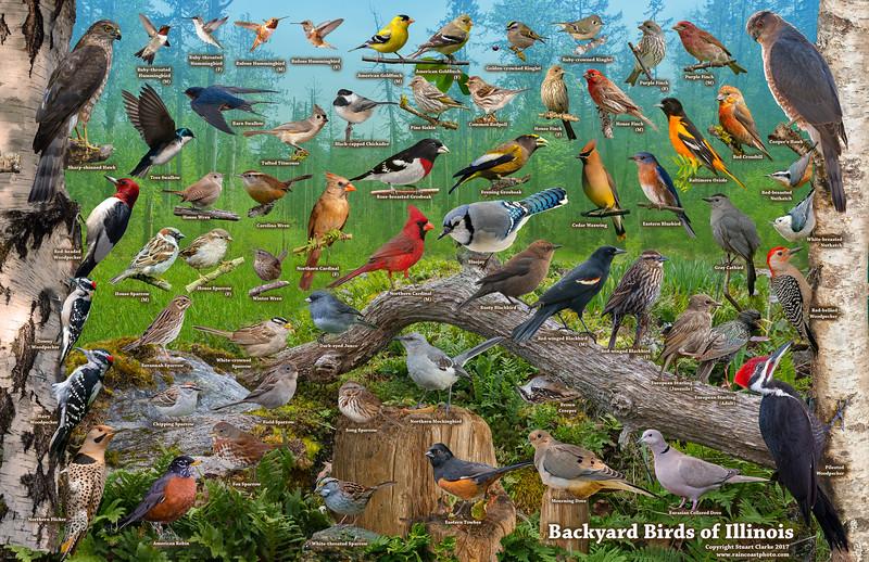 Backyard Birds of Illinois ID Poster