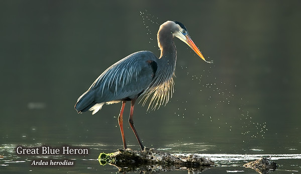 Great Blue Heron in evening light