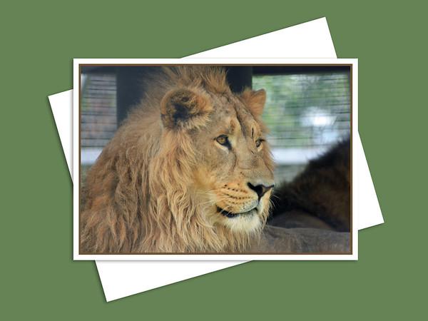Asiatic Lion, Assiniboine Park Zoo